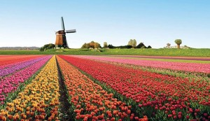 tulipes_hollande